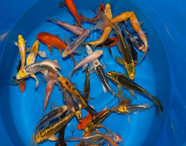 Koi farm koi for sale farm direct wholesale koi koi prices for Bulk koi fish for sale