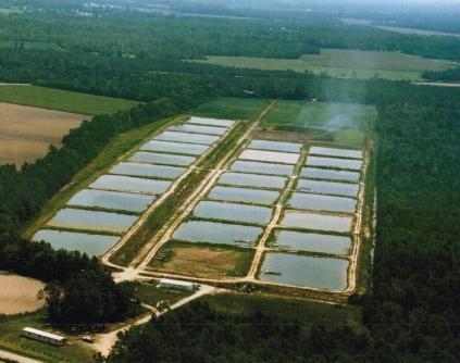 Live fish for pond stocking in nc sc and va carolina for Carolina koi farm
