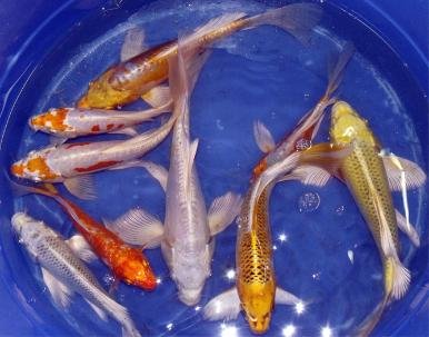 Koi farm koi for sale farm direct wholesale koi koi prices for Bulk koi for sale